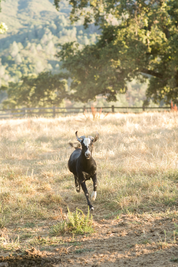 san luis obispo ranch goat